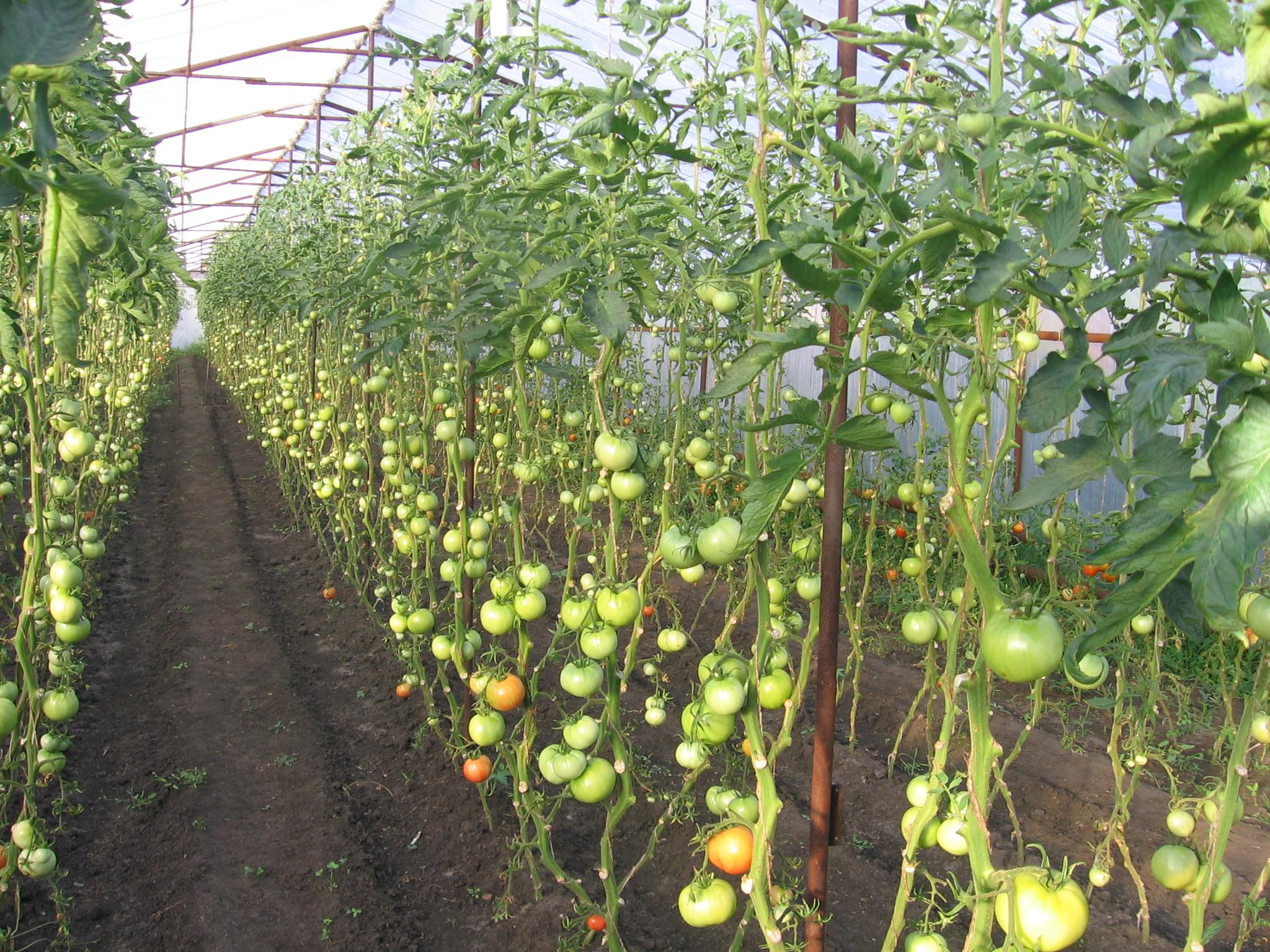 Высокорослые томаты