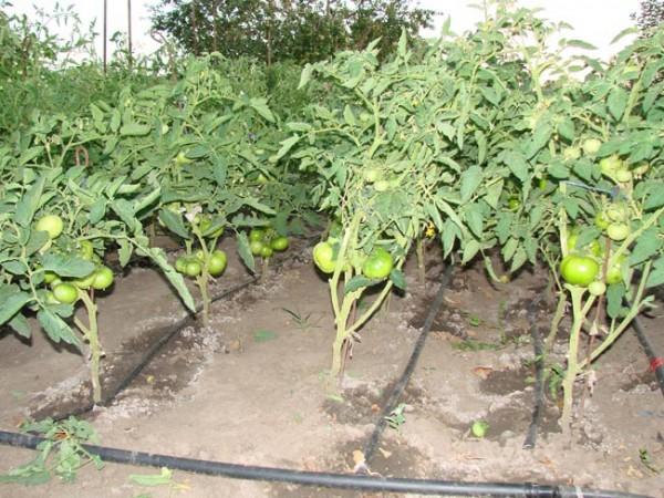 Капельный полив томатов в теплице