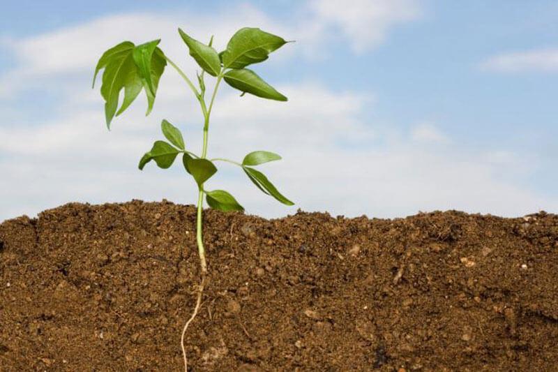 Сидераты разрыхляют почву и улучшают ее структуру — разросшиеся корни оставляют многочисленные канальцы, улучшая тем самым водный и воздушный режим почвы