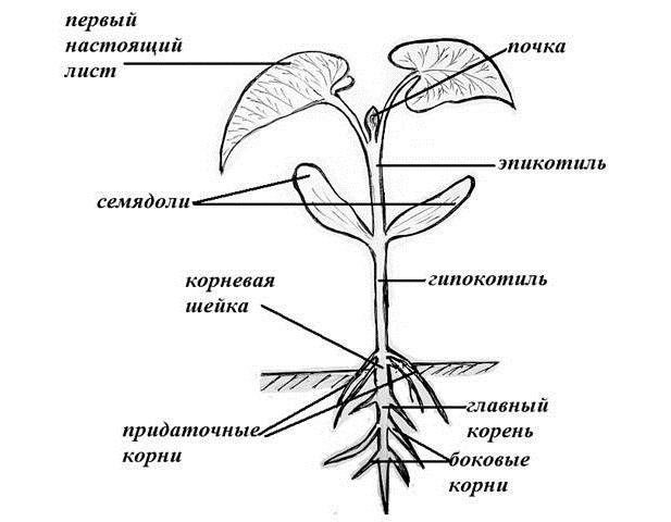 Устройство сеянца и его корневой системы. Пикировка уменьшает длину главного корня, который без проведения подобной операции уходит глубже в почву, чтобы крепко закрепиться там. Но при этом существенно тормозится рост боковых и придаточных корней, что, в свою очередь, приводит к недостаточно обильному питанию саженца