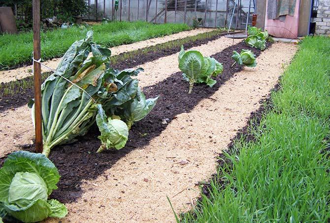 Сидераты не хуже навоза обогащают почву органикой, азотом и микроэлементами. Их корни рыхлят землю, улучшают ее структуру, водный и воздушный режим