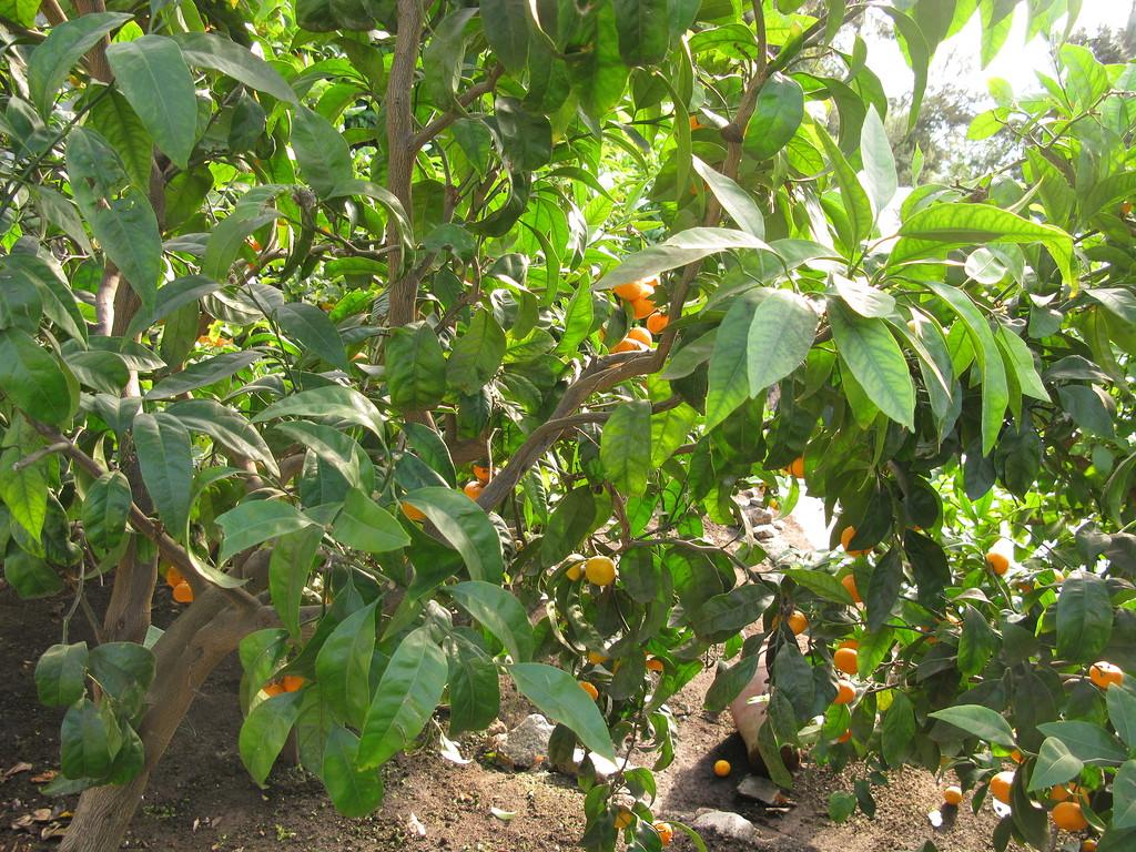 Цитрусовая оранжерея