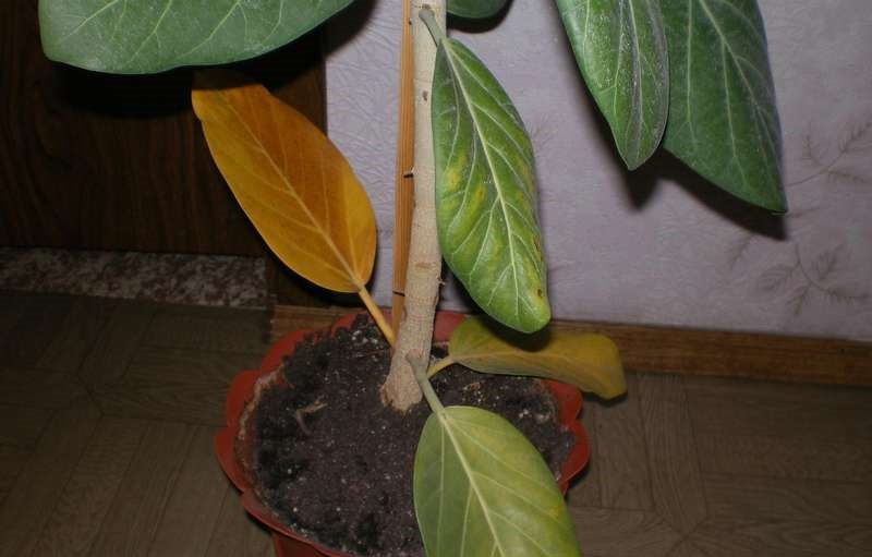 Выращивание фикуса опадают листья 589