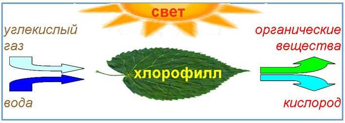 Фотосинтез растений
