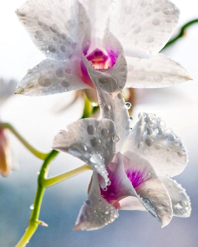 Как часто поливать орхидеи