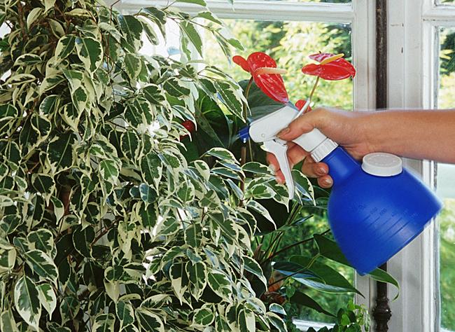Как часто поливать фикус - частота полива, способы, пошаговая инструкция