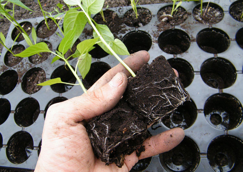 Перевалка рассады при выращивании в кассетах