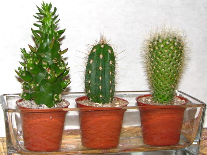 Почти все кактусы любят холодную зимовку