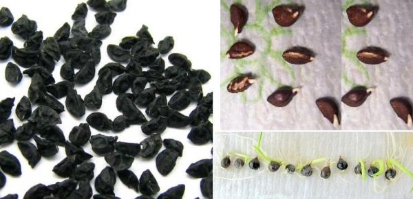 Подготовка семян лука к посеву