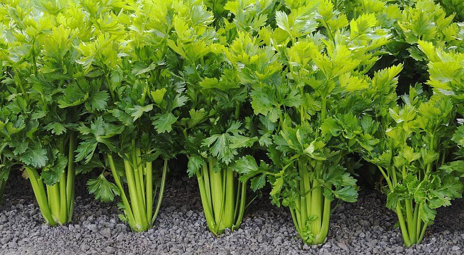 Подращенную рассаду сельдерея можно высаживать в открытый грунт примерно в начале или середине мая