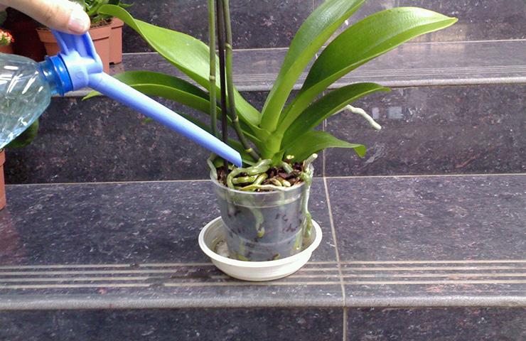 Полив орхидеи лейкой с тонким носиком