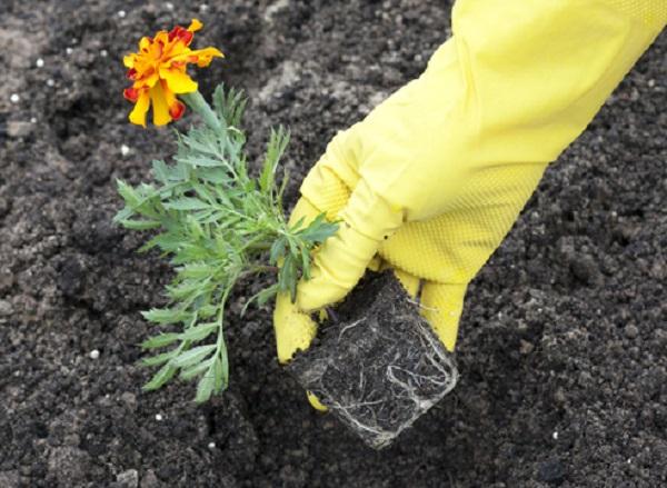 Когда высаживать на рассаду семена бархатцев 95