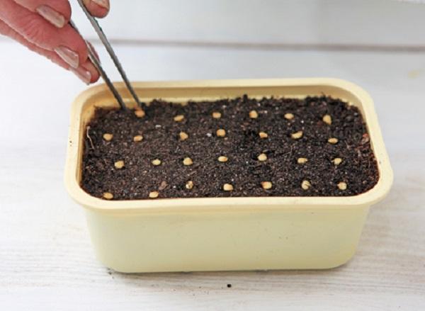 Посев семян перца