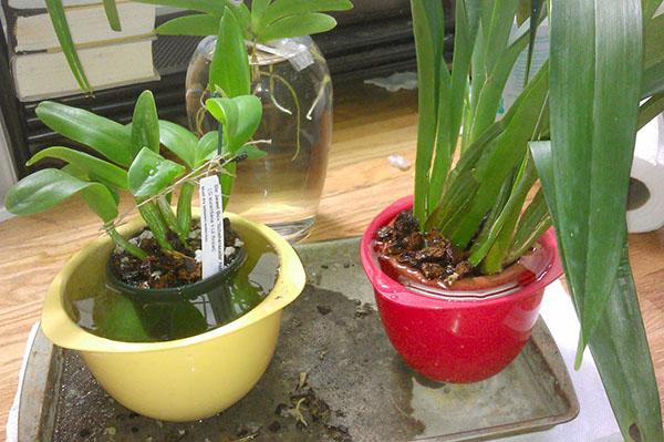 Пример полива орхидей погружением