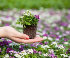 Рассада цветов требует внимания и заботы