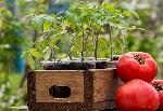 Посадка семян помидоров на рассаду