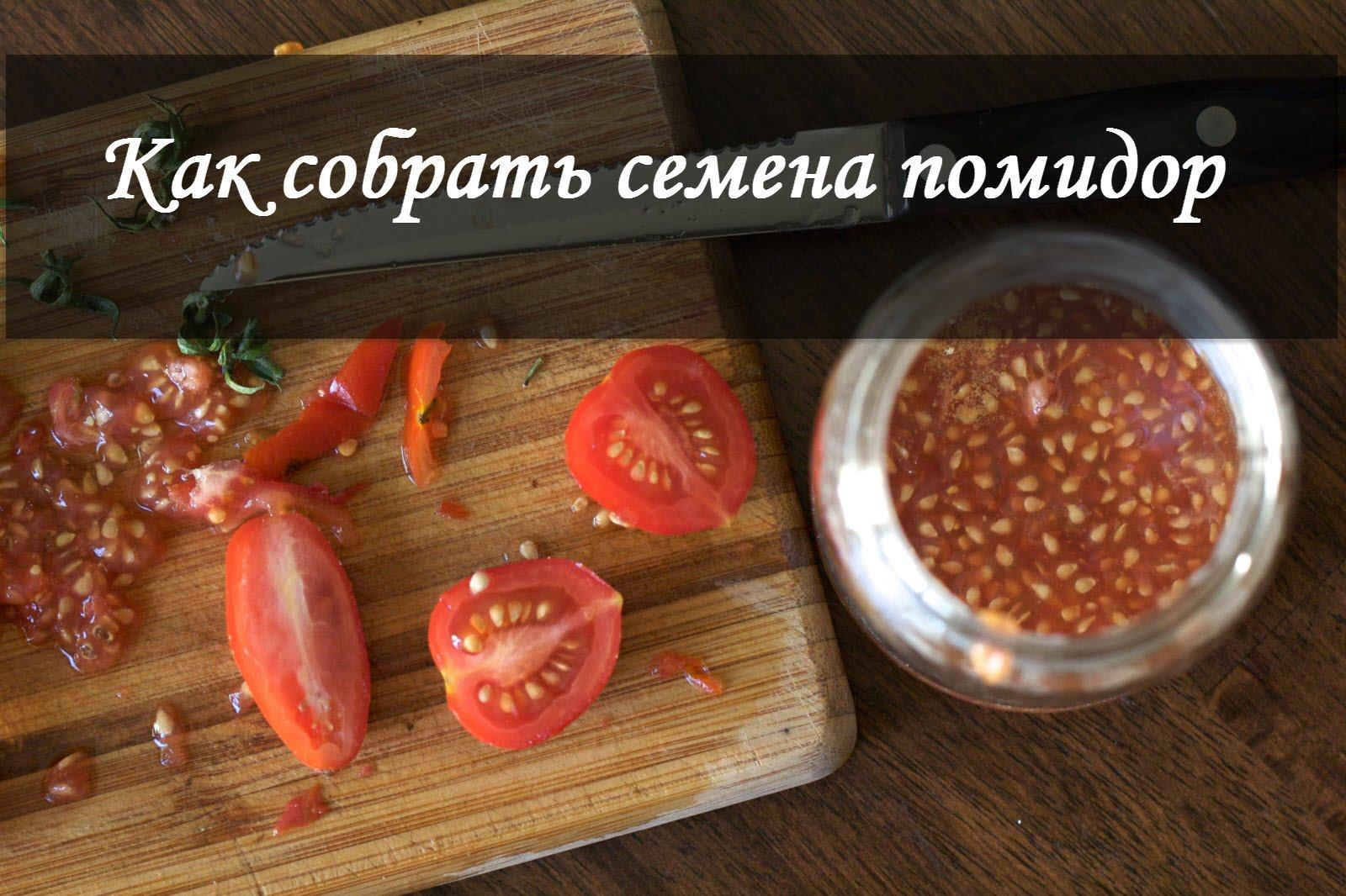 Сбор семян томатов в домашних условиях
