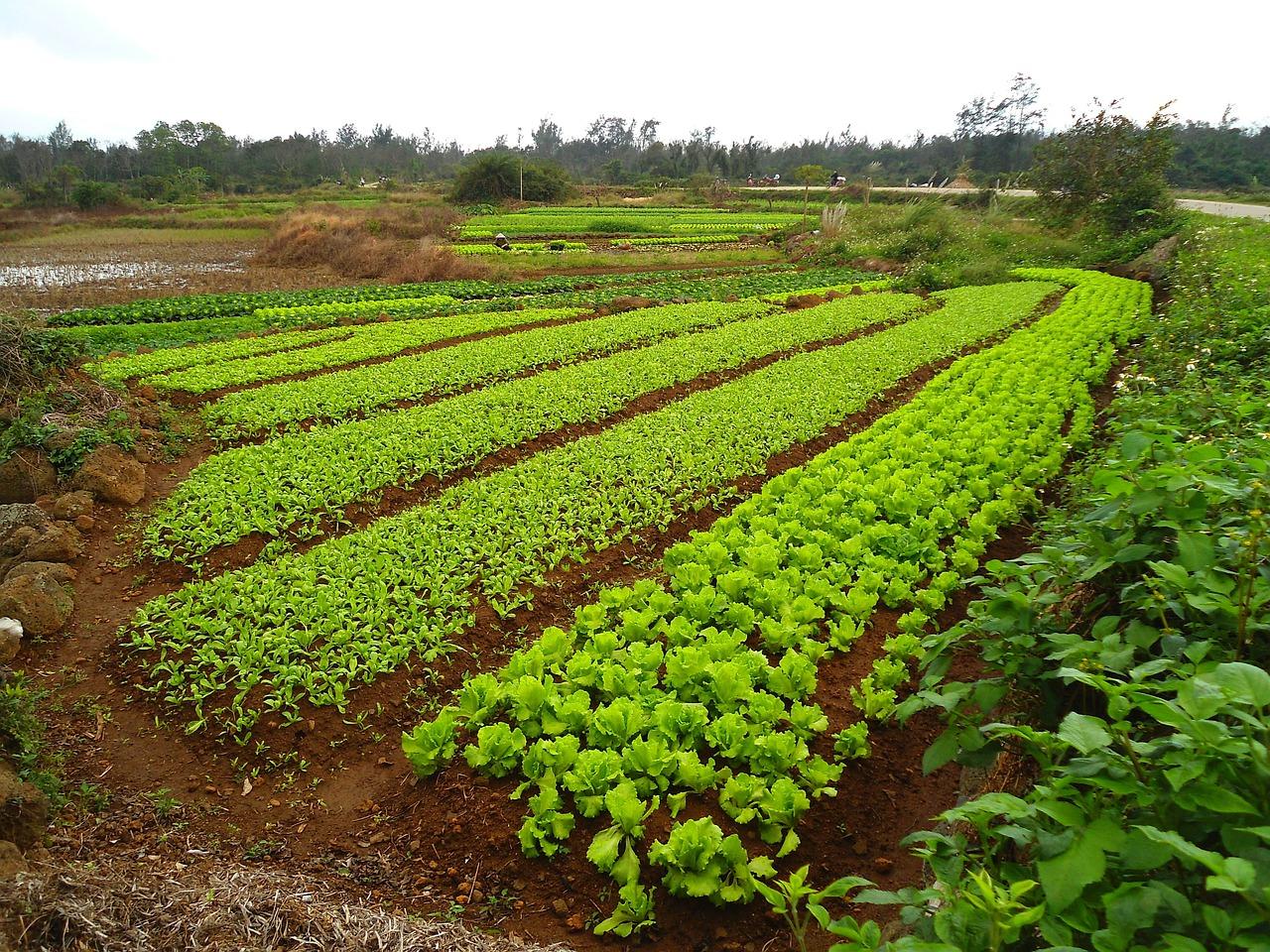Сидераты как вид экологического земледелия