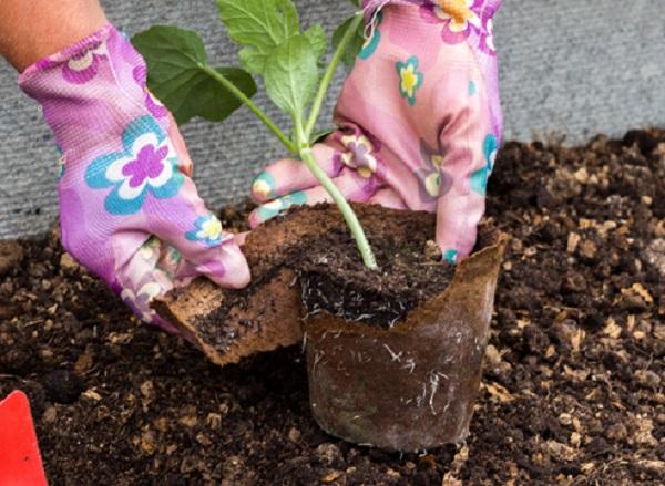 Как сажать рассаду на арбузы и 73