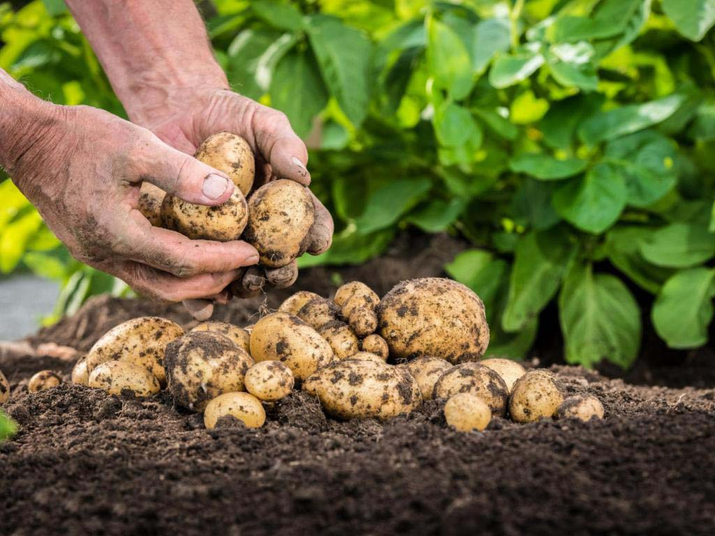 Картошка технология выращивания 86
