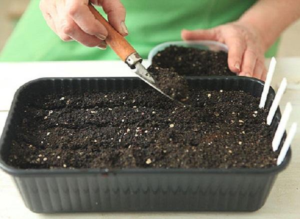 Сверху семена присыпают слоем грунта в 1 см