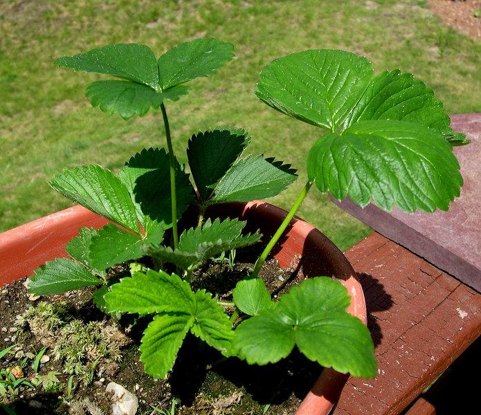 Тонкости выращивания рассады