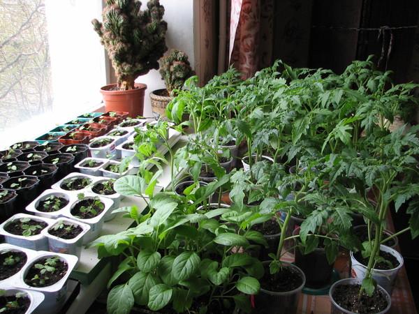 Традиционное выращивание рассады