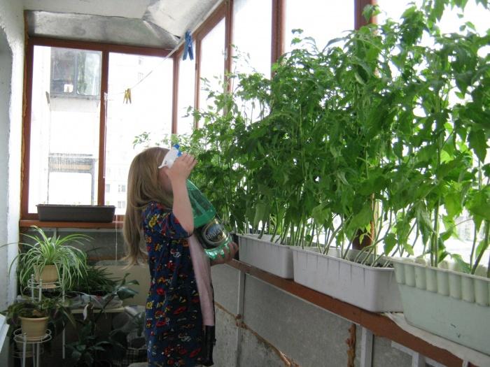 Как вырастить в домашних условиях помидоры и огурцы