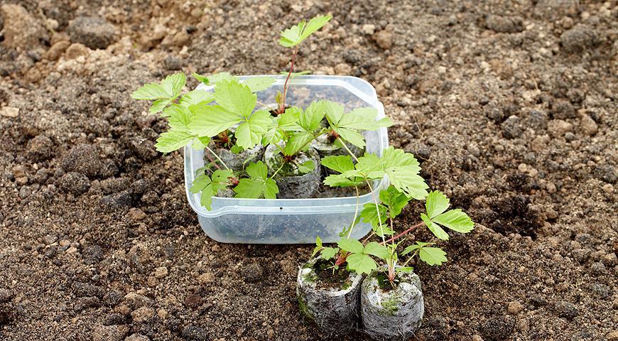 Выращивание клубники из семян в торфяных таблетках