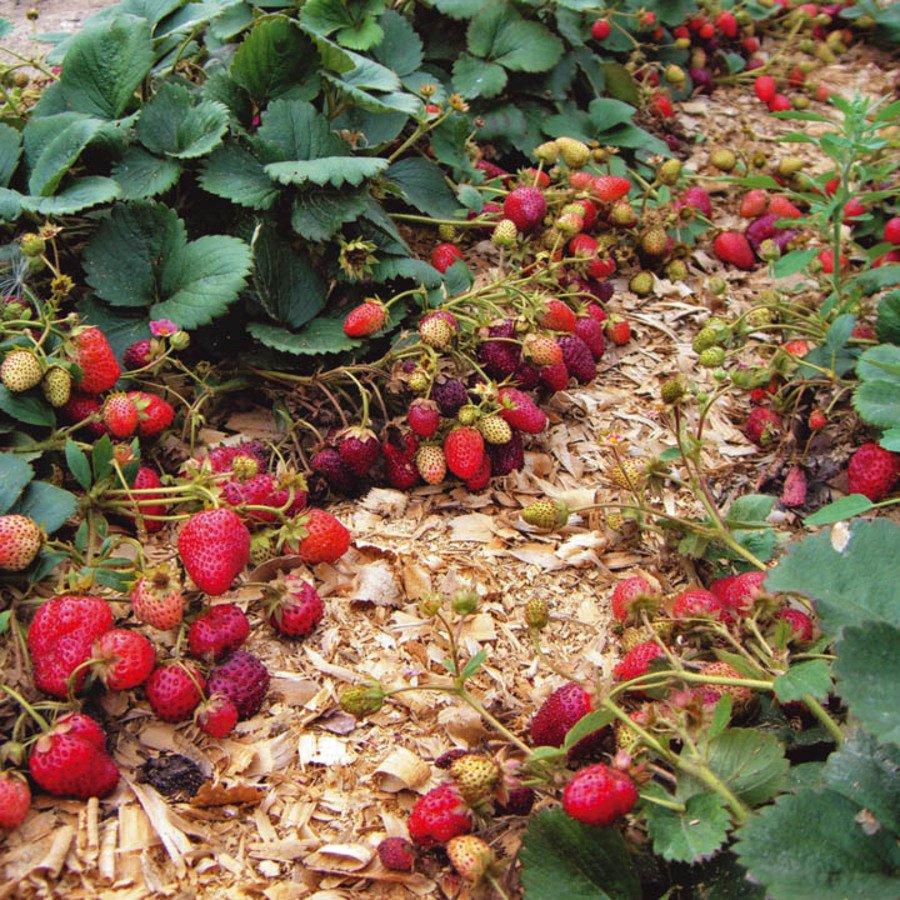 Выращивание земляники на участке