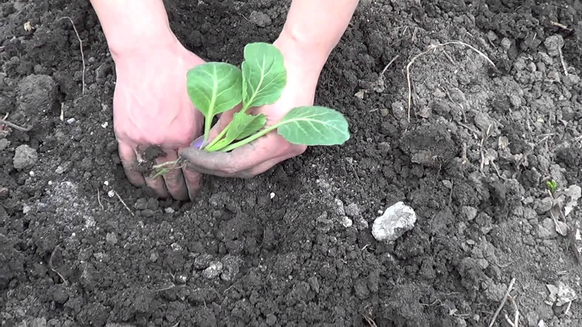 Высадка рассады капусты в мае