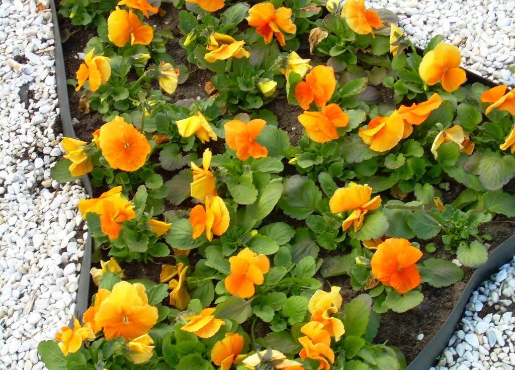 Желтые цветы для клумбы