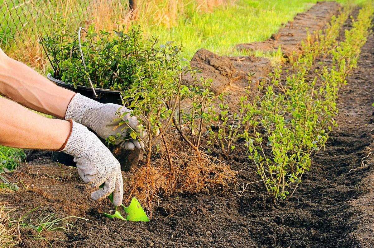 Размножение молодил, посадка и уход - Вегетативное 17