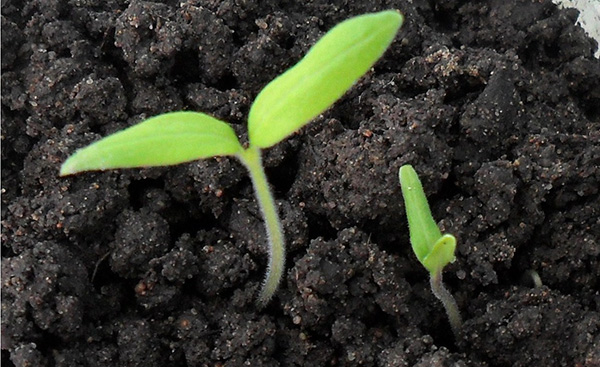 Первые ростки помидор из семян