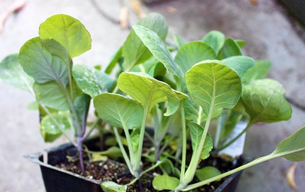 Сроки посадки рассады в открытый грунт во многом зависят от конкретного сорта