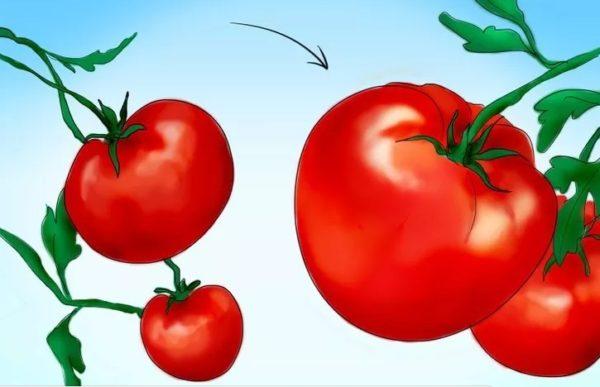 Отбор томатов