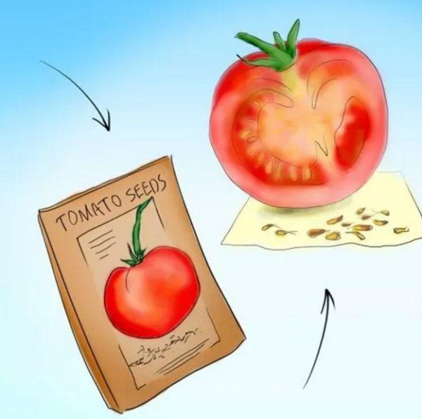 Способы получения семян помидоров