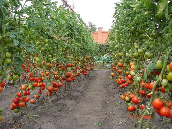 Когда сажают помидоры в сибири 988